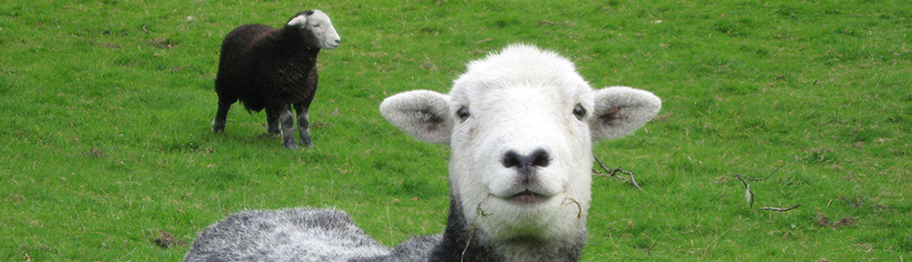 Two Herdwick sheep